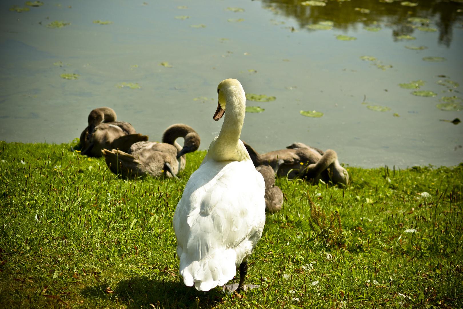 Schwanen Familie (2)