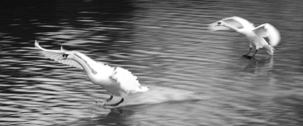Schwanen-Landung