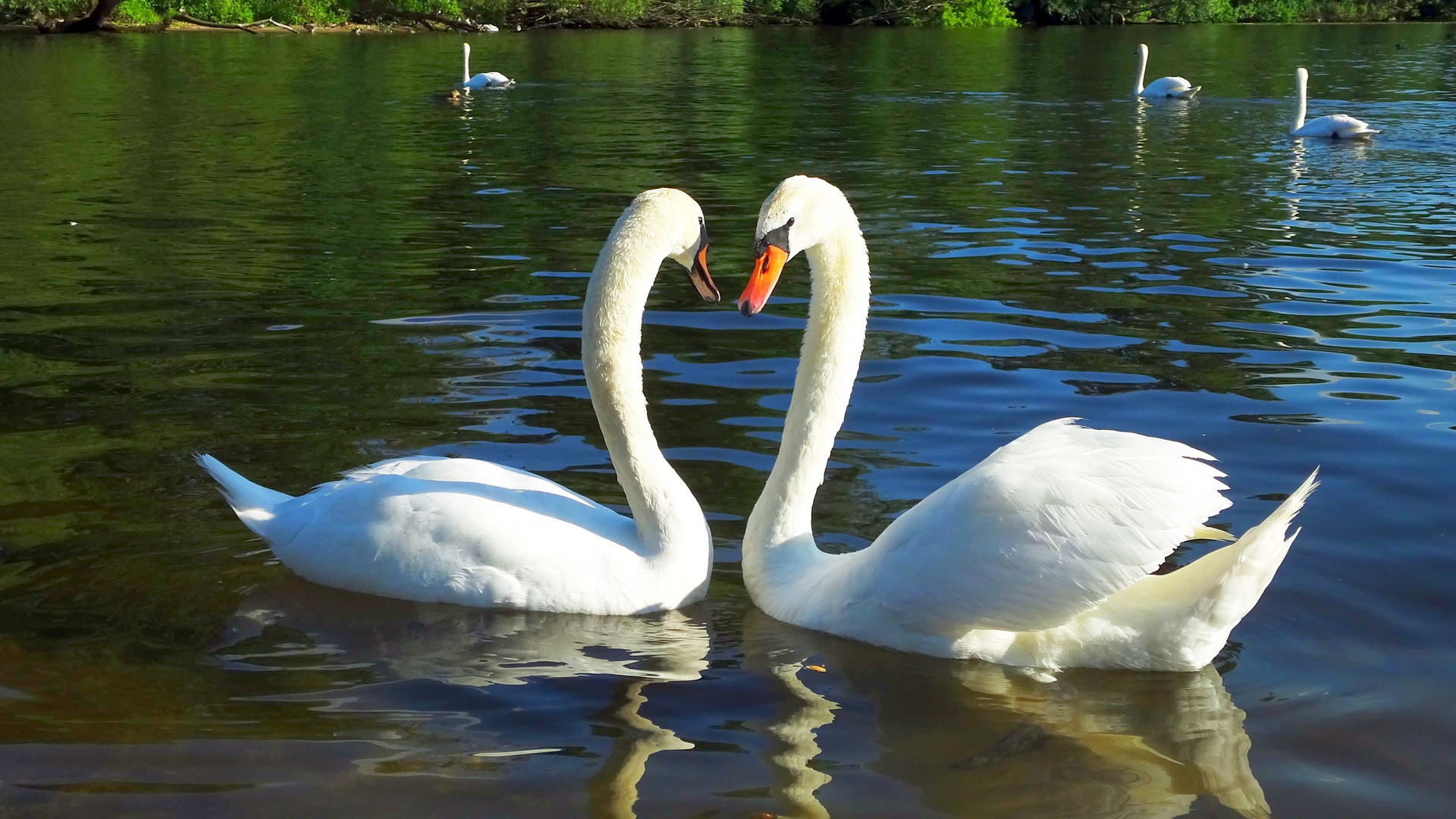 Schwanen Paar am Wannsee in Berlin