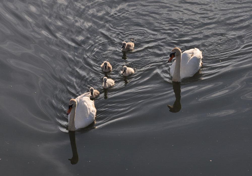 Schwanenfamilie an der Niederwerrieser Brücke in Hamm