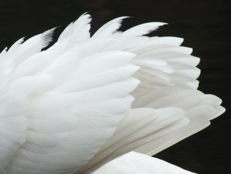 Schwanenflügel