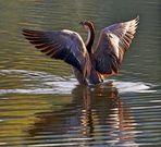Schwanengans auf dem Bruchsee