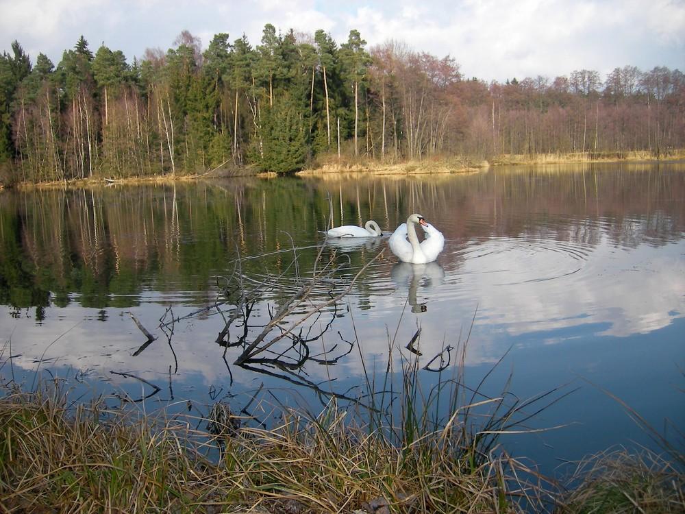 Schwanenhochzeit 2008