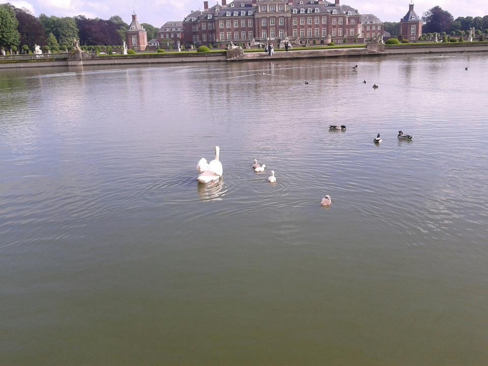 Schwanenkinder im Teich in Schloßpark Nordkirchen