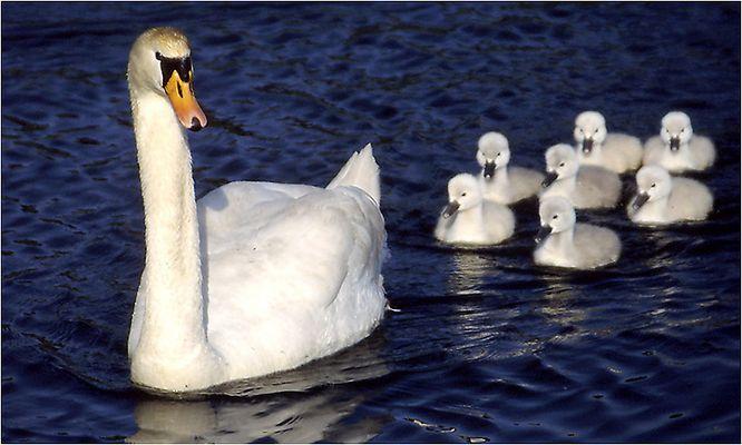 Schwanenmutter mit ihren sieben Kleinen.........