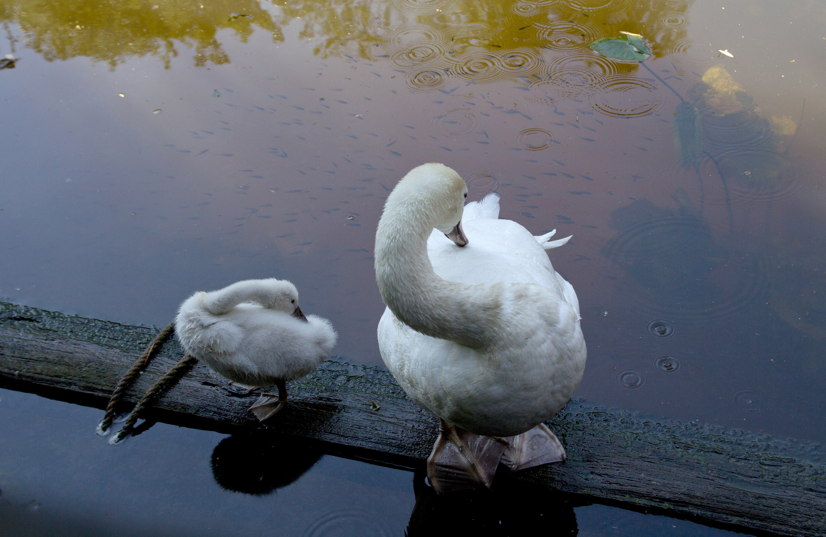 Schwanenmutter mit Jungtier