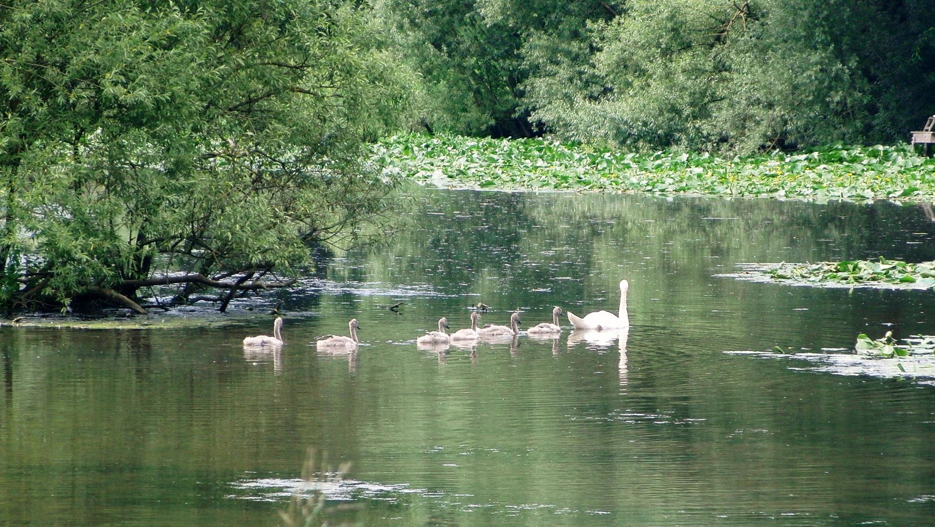 -Schwanenmutter mit Nachwuchs auf dem Bad Schwartauer Mühlenteich-
