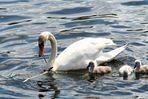 Schwanensee zum Muttertag