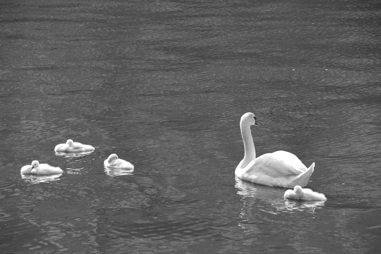 Schwanfamilie in Brügge
