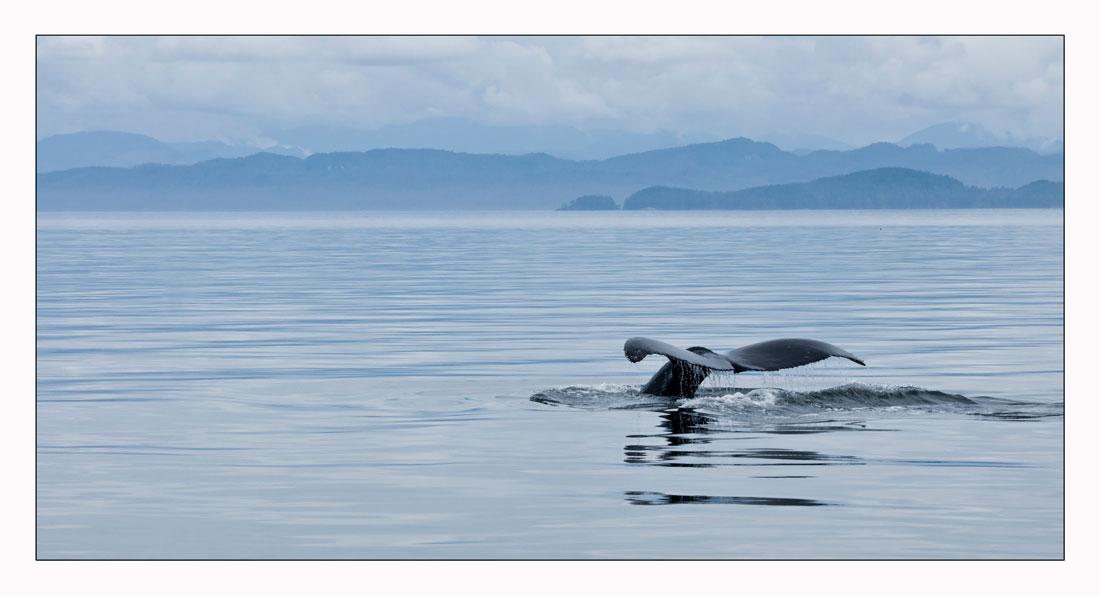Schwanzflosse eines Buckelwals
