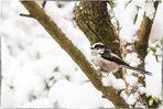 Schwanzmeise im Schnee