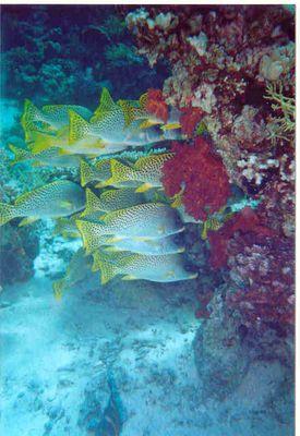 Schwarm hinter Koralle