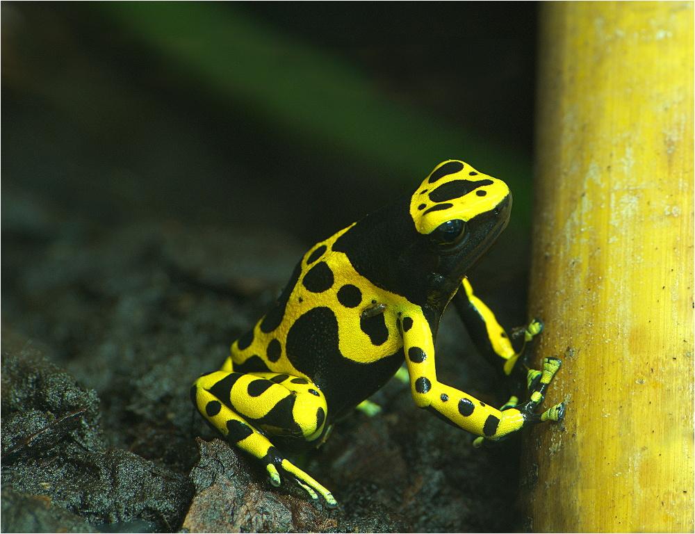 Schwarz-gelber Pfeilgiftfrosch