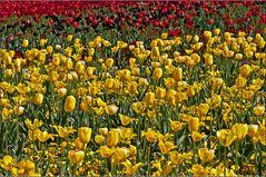 Schwarz-rot-gelbe-Tulpen