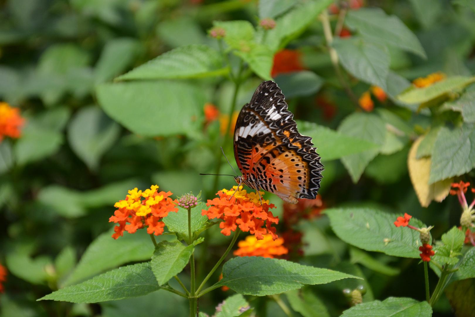 Schwarz Rot Gold - Schmetterling