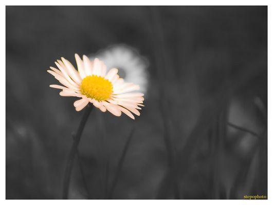Schwarz-weiß-Gänse-Blume