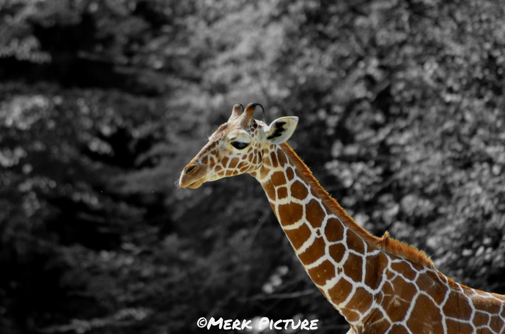 Schwarz Weiß Giraffe ;)