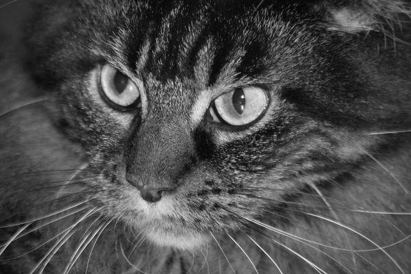 Schwarz-weiß Portrait einer Maincoon Katze