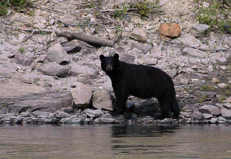 Schwarzbär am Pelly River
