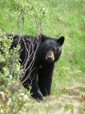 Schwarzbär in Alberta, Kanada ( Banff Nationalpark)