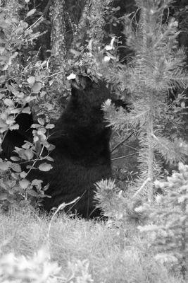 Schwarzbär nach erfolgreicher Futtersuche..