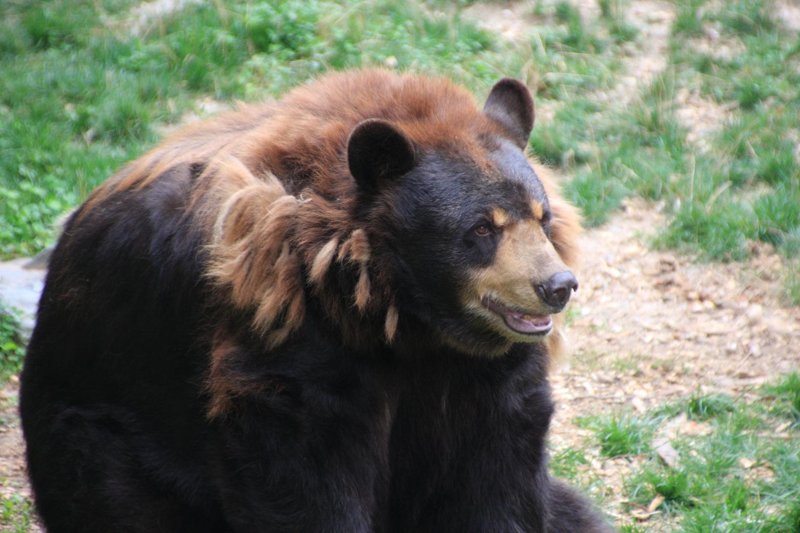 Schwarzbären in North Minnesota