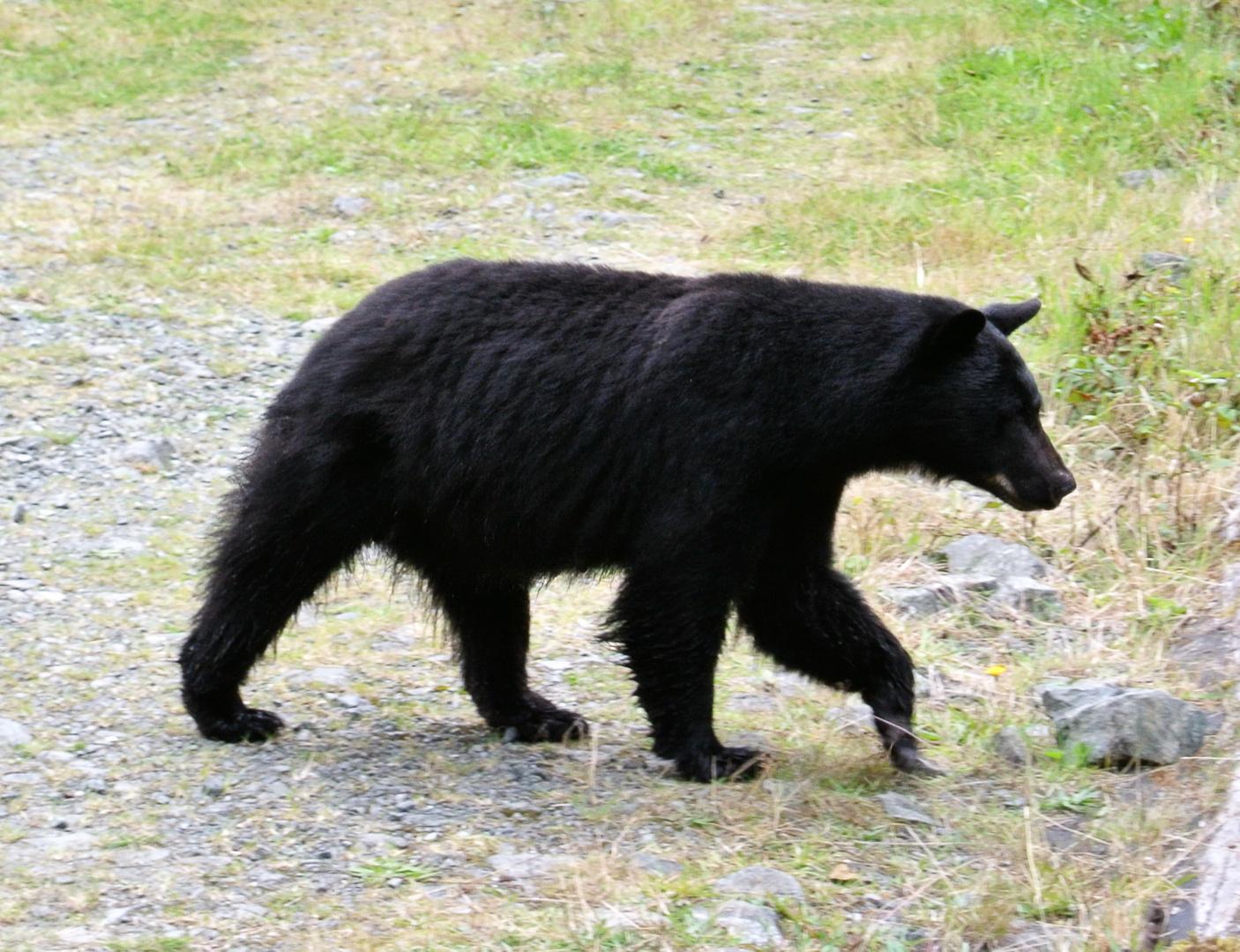 Schwarzbärendame