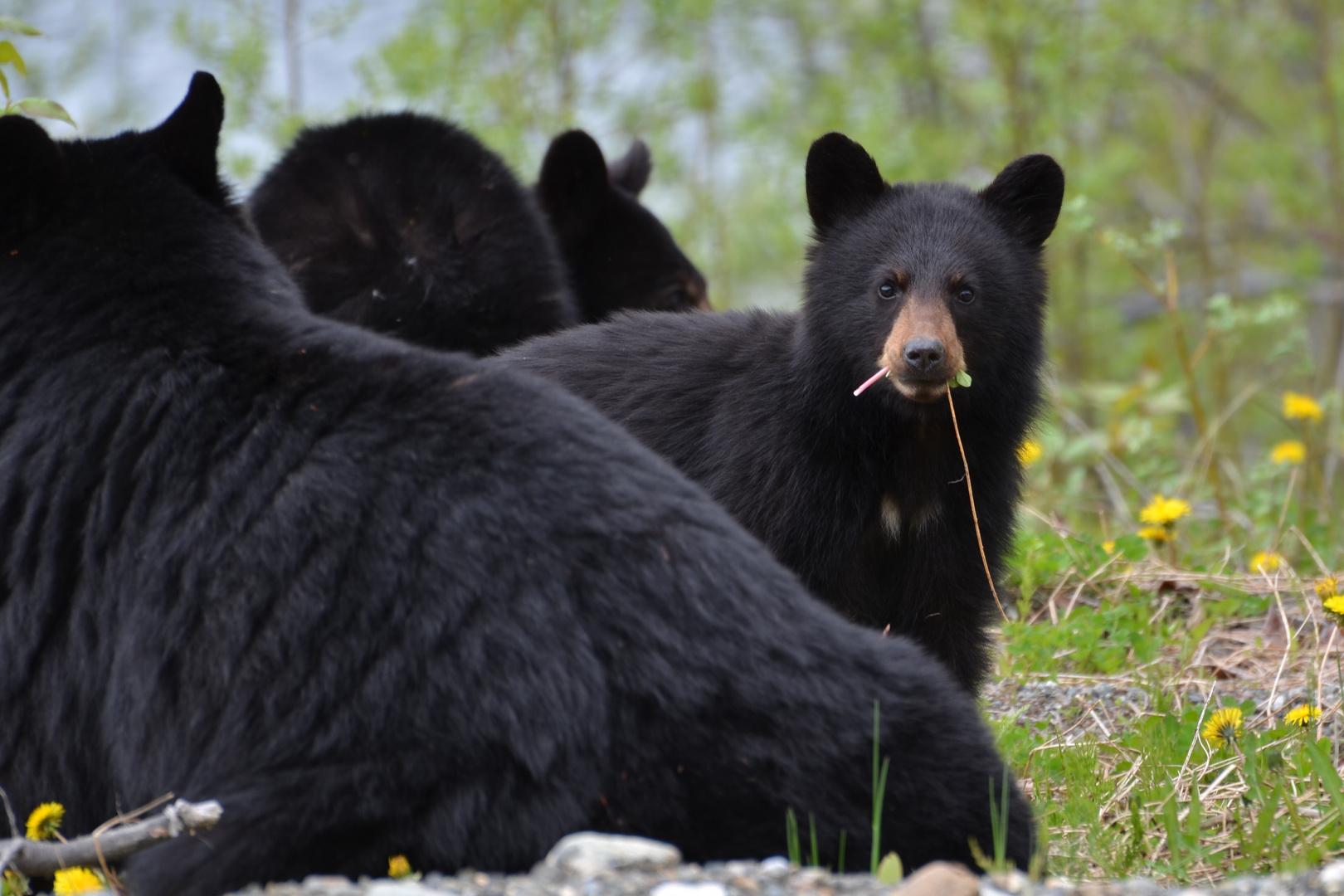 Schwarzbärfamilie in BC