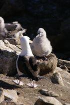 Schwarzbrauen-Albatros mit Jungem