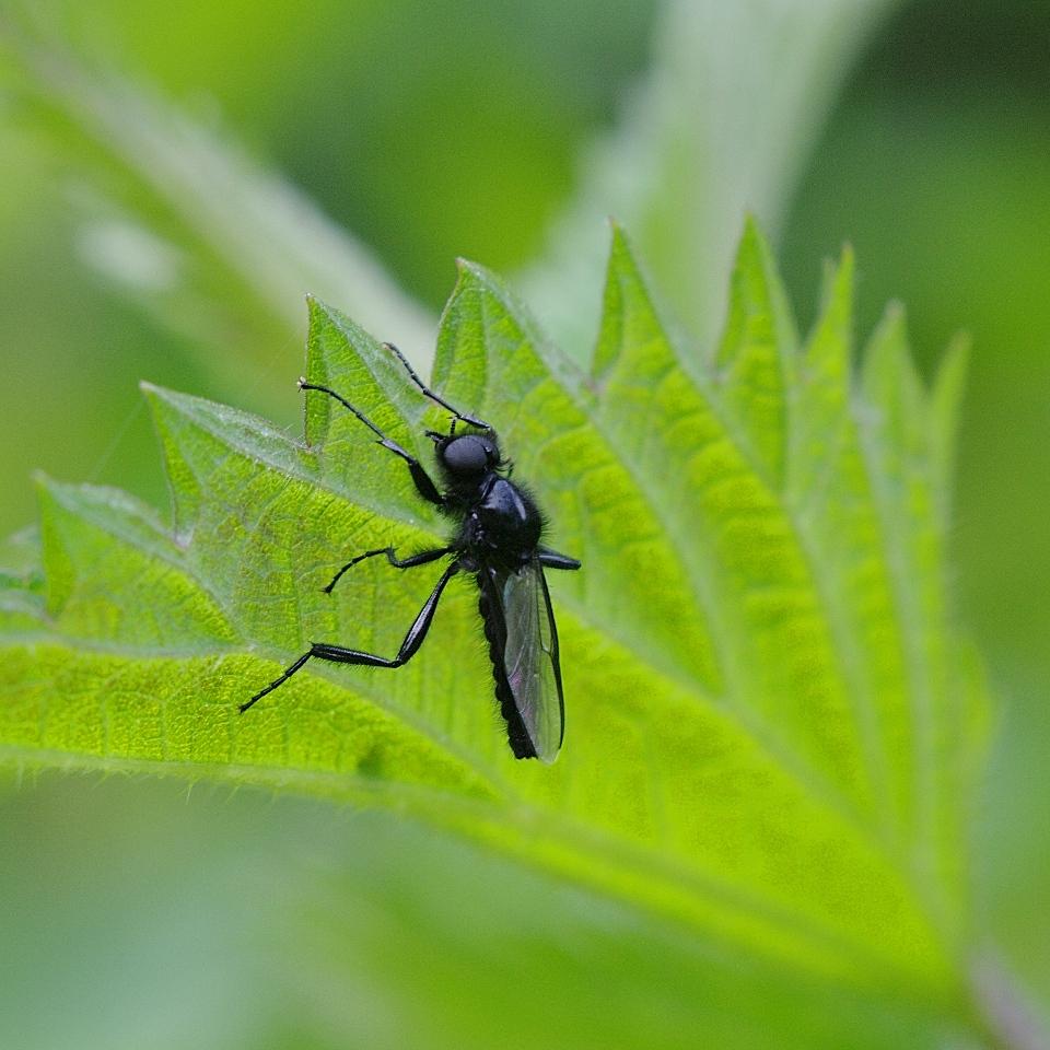 schwarze fliege wie originell foto bild tiere wildlife insekten bilder auf fotocommunity. Black Bedroom Furniture Sets. Home Design Ideas