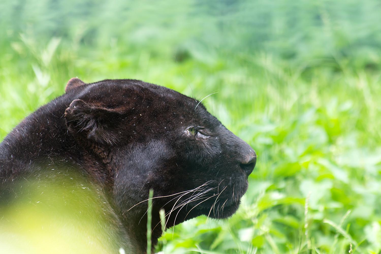 Schwarze Großkatze