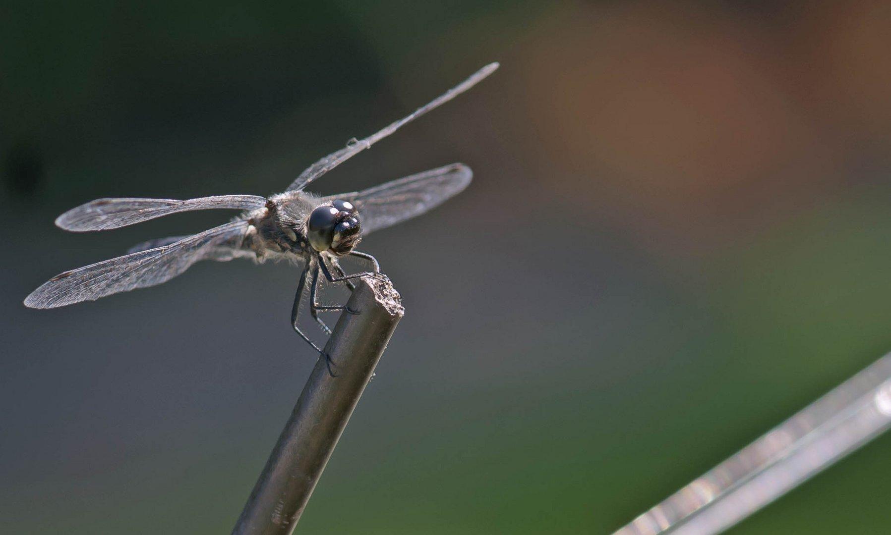 schwarze Heidelibelle