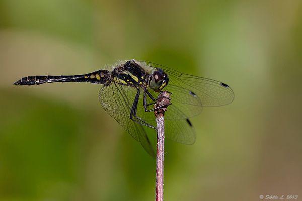 Schwarze Heidelibelle (Sympetrum danae) männlich