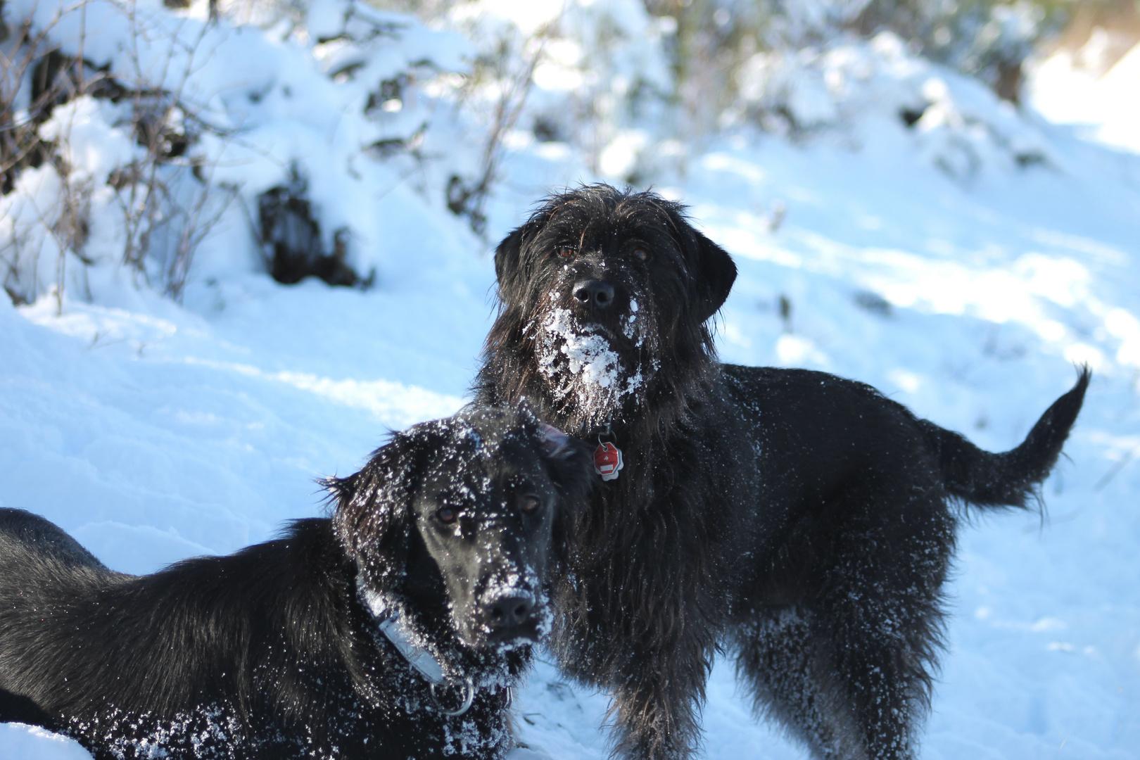 schwarze Hunde- weißer Schnee