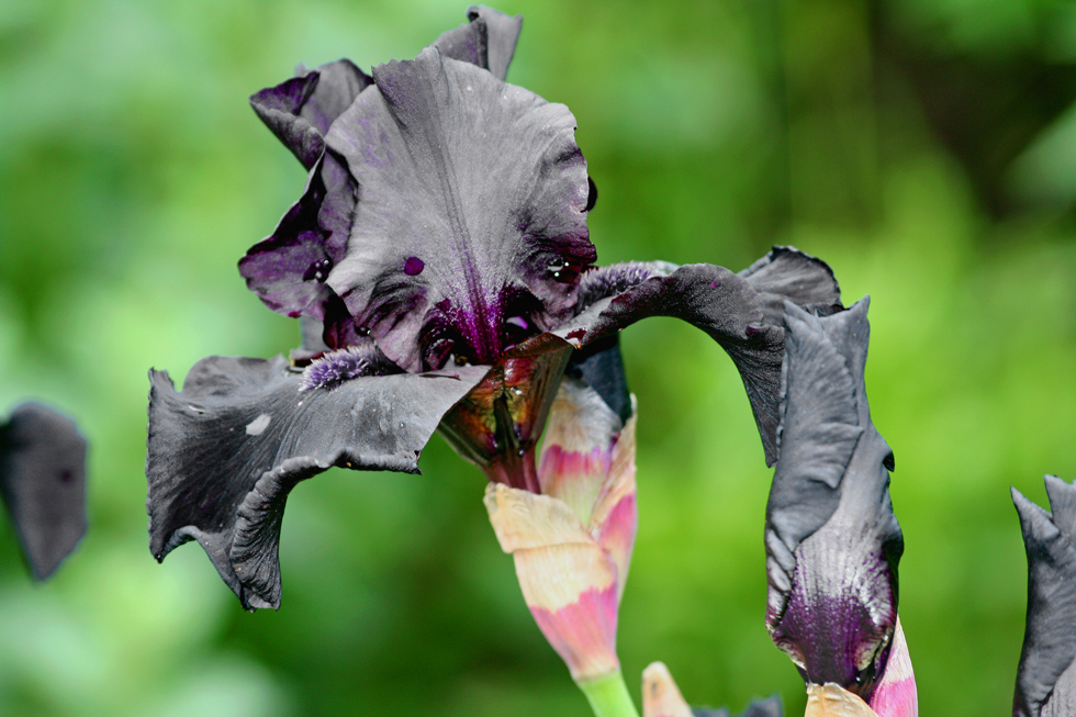 schwarze iris foto bild pflanzen pilze flechten. Black Bedroom Furniture Sets. Home Design Ideas