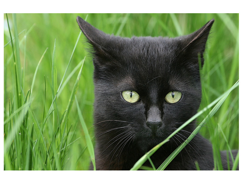 Schwarze Katze im Grünen
