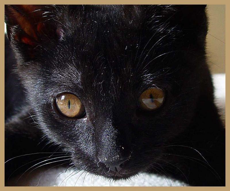 Schwarze Katzenbaby mit braune Augen