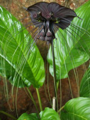 Schwarze Orchidee in Thailand (auch Fledermauspflanze)
