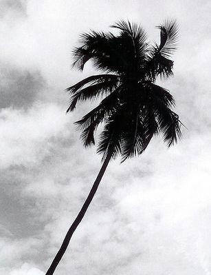 """""""Schwarze"""" Palme im Wind"""