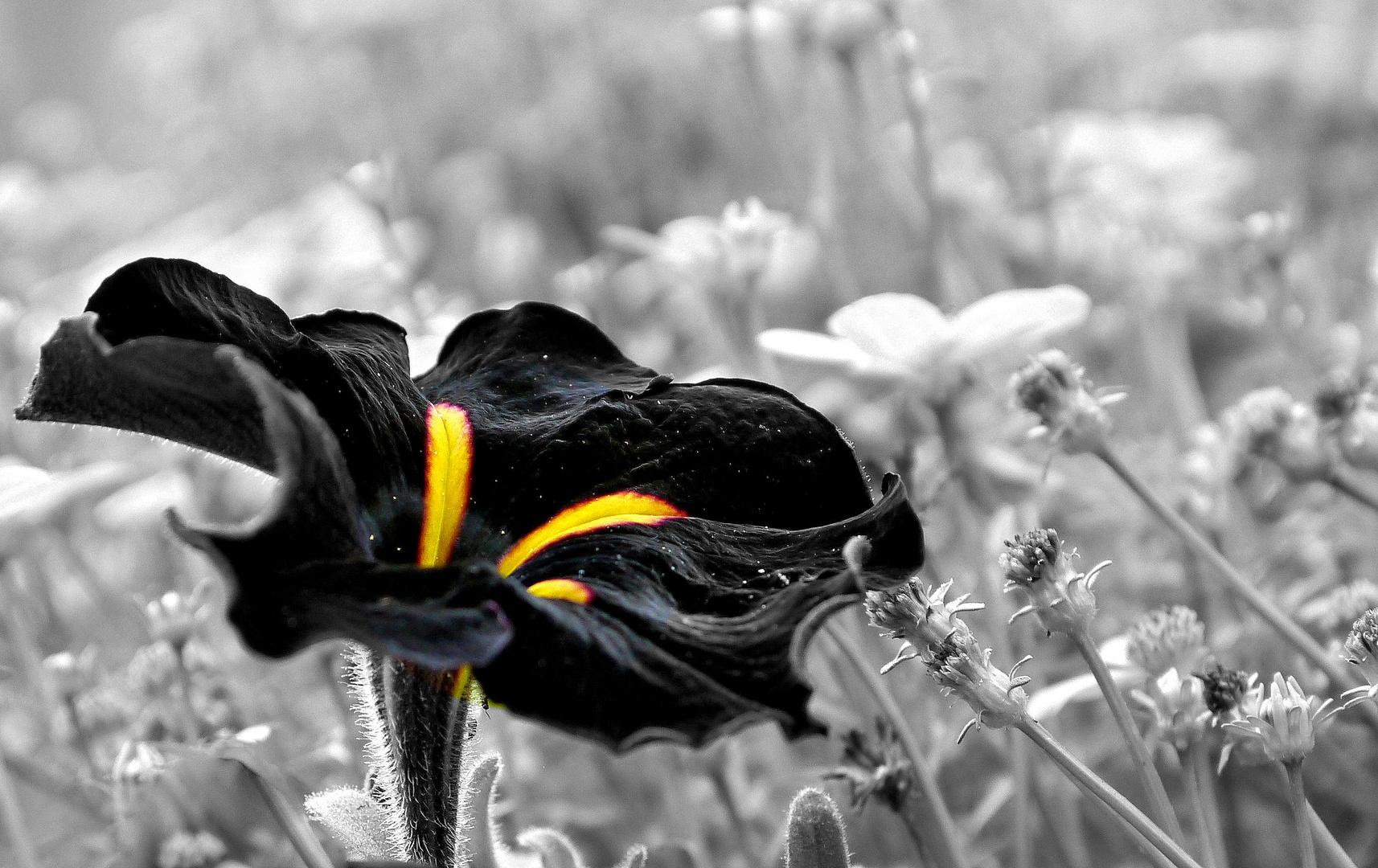 Schwarze Petunie...