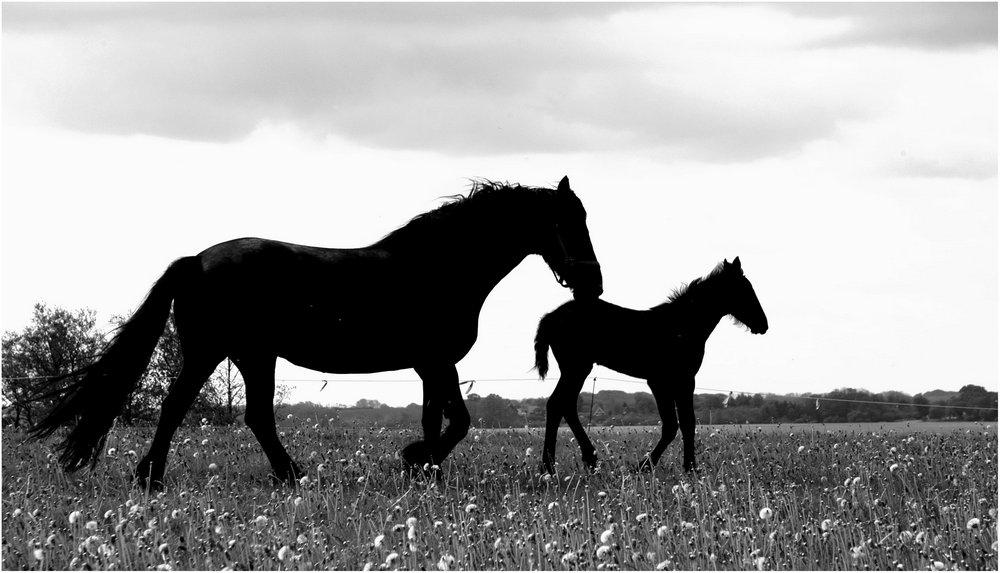 schwarze pferde foto bild tiere tierkinder bilder. Black Bedroom Furniture Sets. Home Design Ideas