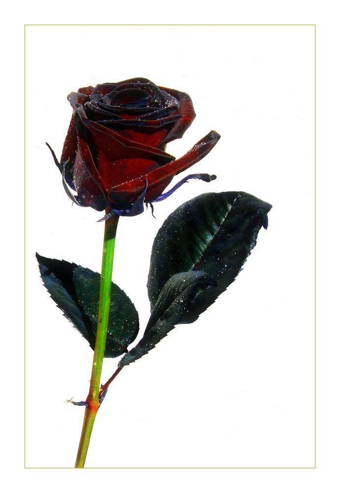 schwarze rose foto bild pflanzen pilze flechten bl ten kleinpflanzen rosen bilder. Black Bedroom Furniture Sets. Home Design Ideas