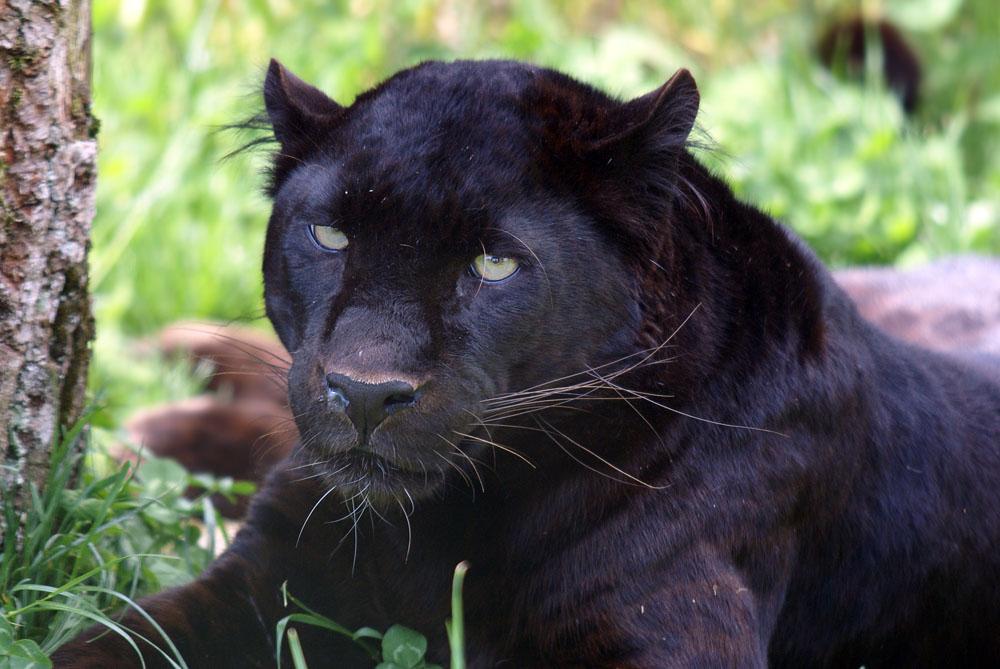 Schwarze Schönheit