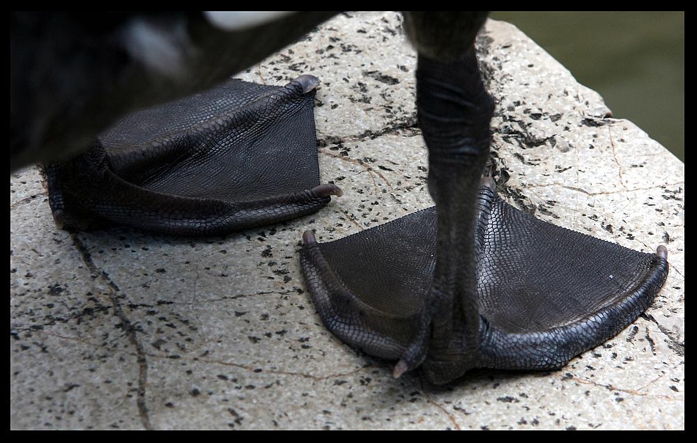 schwarze Schwanenfüße