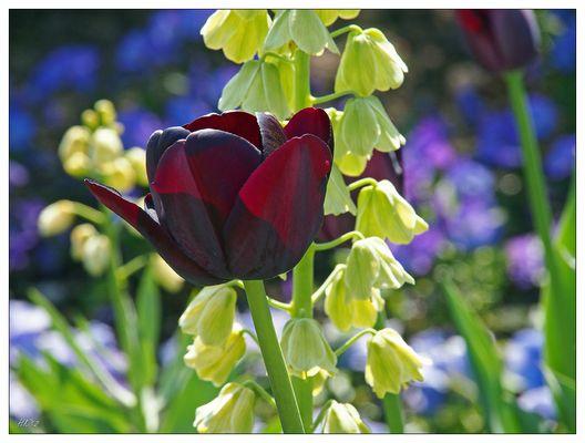 Schwarze Tulpe