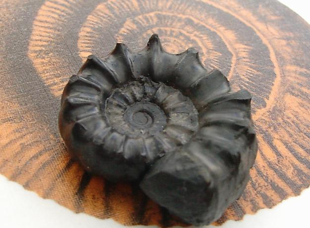 Schwarzer Ammonit - Xipheroceras sp.