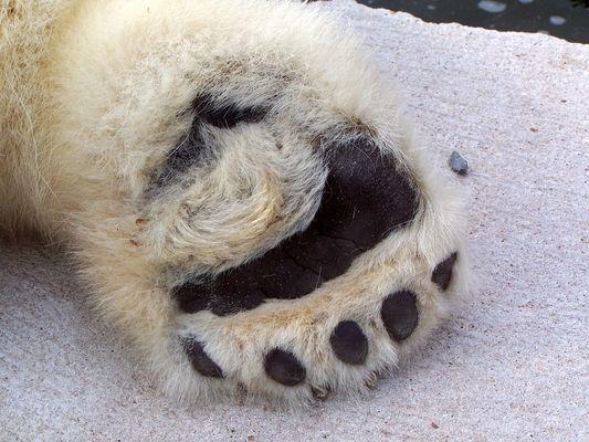 schwarzer Fuß von weißem Bären
