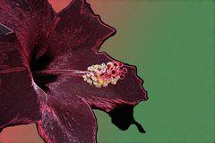 schwarzer Hibiscus
