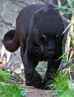 Schwarzer Jaguar -1-
