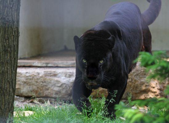 Schwarzer Jaguar -2-